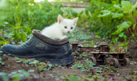 Young white kitten finding shelter in an old boot