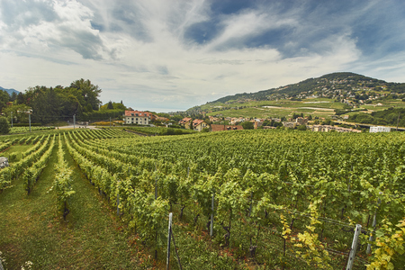 Swiss vineyard landscape in summer