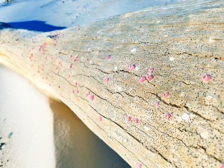 Pink barnacles on a log washed ashore on Santa Rosa Island, Pensacola, Florida