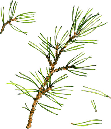 pine needles: pine branches and pine needles drawing by watercolor, hand drawn vector illustration