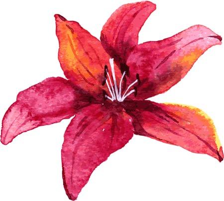 dessin fleur: Lys rouge dessin de fleurs par l'aquarelle, tir� par la main illustration vectorielle