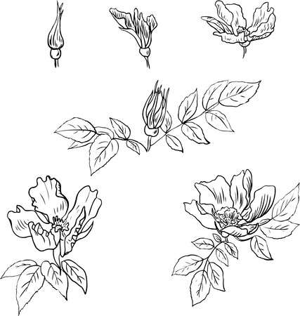 eglantine: Set of linear drawing flowers of sweet briar, Eglantine Rose, vintage vector illustration Illustration