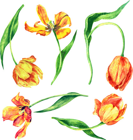 red tulip: vector set of watercolor tulips, hand drawn design elements
