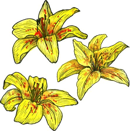 lilium: three yellow flowers of lilies,drawn of watercolor, yellow flowers with red spots, mottled yellow lilium, hand drawn design elements