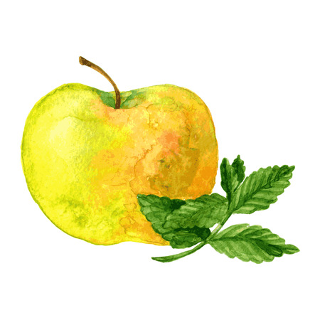 yellow apple: yellow apple and green mint drawing by watercolor at white background, hand drawn vector illustration Illustration