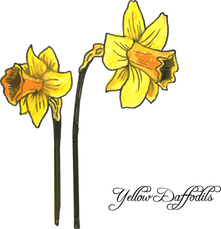 daffodil: hand drawn watercolor vector illustration with two yellow flowers of daffodil Illustration