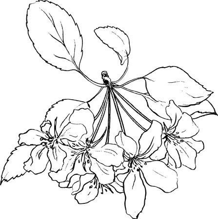 dibujos lineales: flores de la primavera de manzano, dibujo lineal flores de manzana con hojas, dibujado a mano ilustración vectorial Vectores