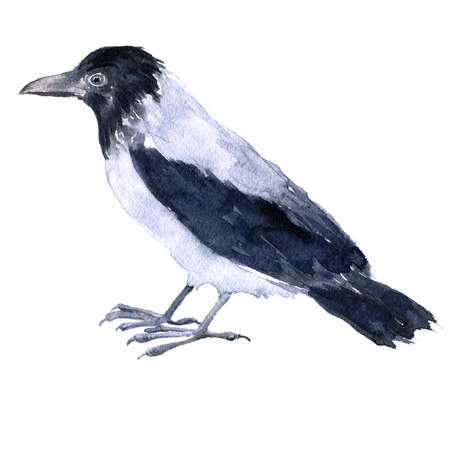 raptorial: vector watercolor drawing bird, crow painted by aquarelle at white background, hand drawn vector illustration