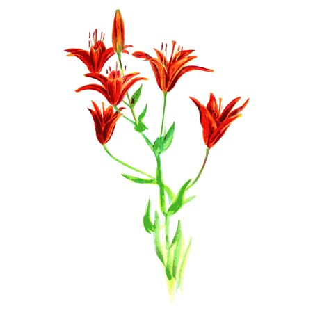 stalks: vector watercolor orange lilies with stalks and leaves, hand drawn vector illustration