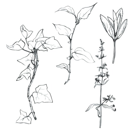 graphite: Set of pencil drawing herbs and leaves, painted graphite pencil wild plants, botanical illustration in vintage style,  monochrome black line drawing floral set, hand drawn vector illustration