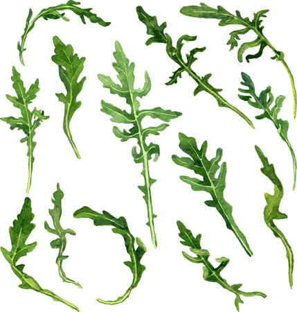 potherb: leaves of arugula drawing by watercolor at white background, hand drawn vector illustration Illustration