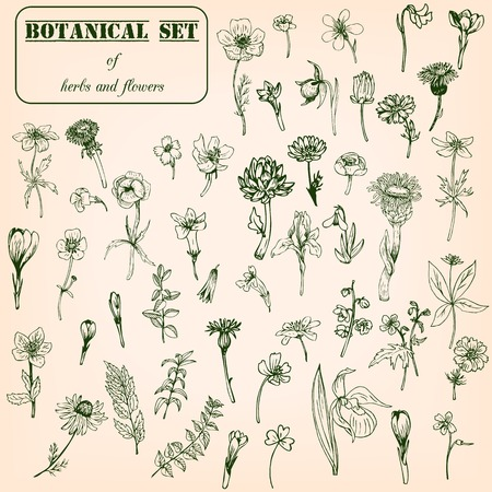 botanica: Set of line drawing herbs and flowers, vector illustration