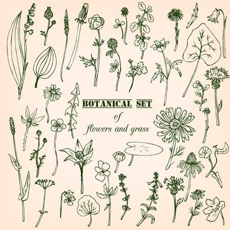 botanica: Set of line drawing herbs, vector illustration Illustration