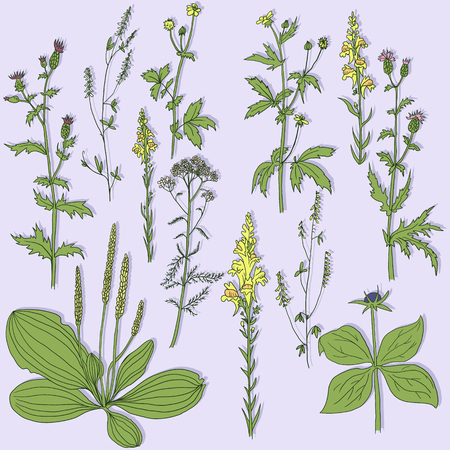 plantain herb: Set of line drawing herbs, vector illustration Illustration
