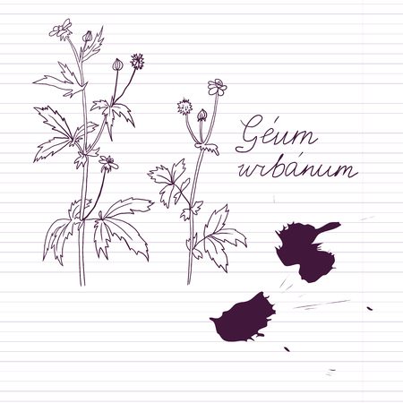 ink drawing herbs with Latin names at lined paper, avens, vector illustration