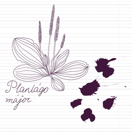 plantain: ink drawing herbs with Latin names at lined paper, vector illustration