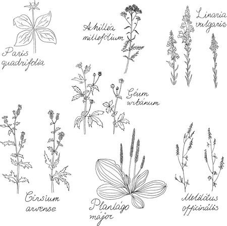 weegbree: Set van lijntekening kruiden met Latijnse namen, vector illustratie