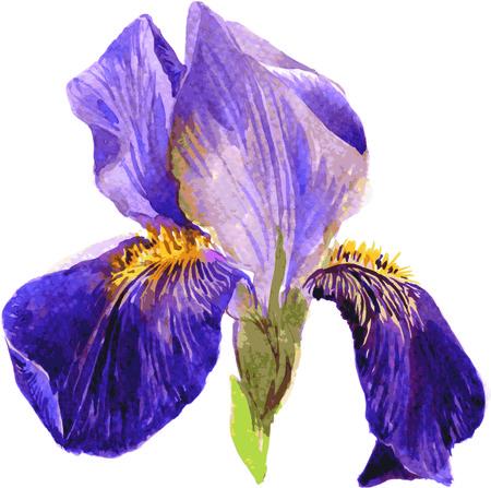 Fleur de dessin irise par l'aquarelle, tiré par la main illustration vectorielle