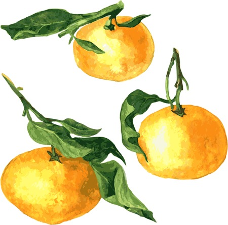 mandarins: set of watercolor drawing mandarines,hand drawn vector illustration