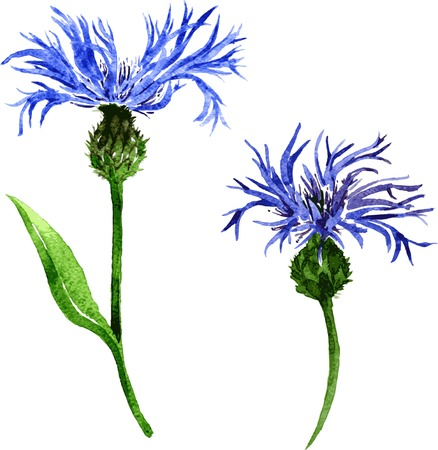 flowerbed: two vector watercolor blue flowers of cornflowers, hand drawn vector design elements
