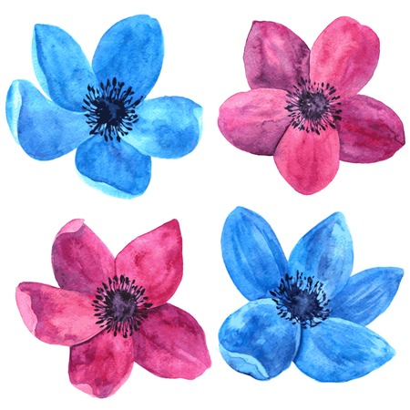 blue wind: vector watercolor drawing isolated flowers of red and blue wind flowers, hand drawn vector illustration