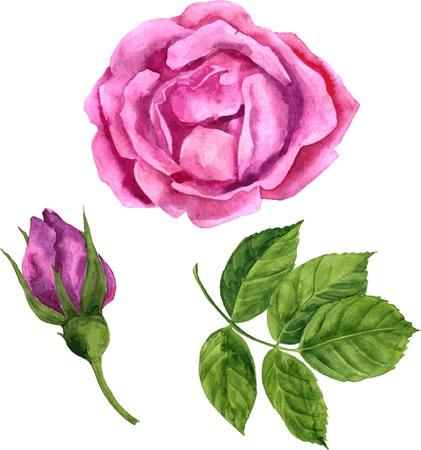 rosebud: vector watercolor drawing isolated floral element, big flower of pink rose, rosebud, green leaf of rose, hand drawn vector illustration