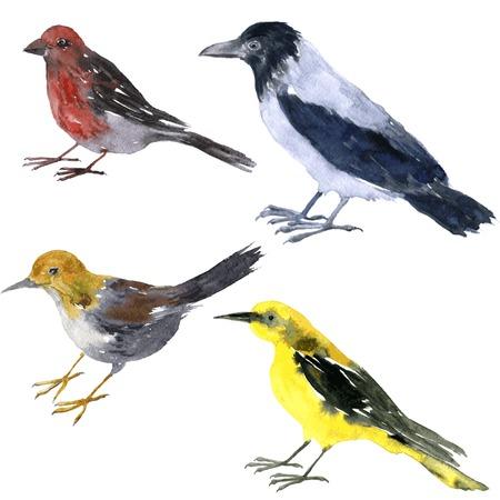 cuervo: conjunto de vector de los pájaros acuarela dibujo, cuervo gris, oropéndola amarilla, correlimos y piquituerto pintado por la acuarela en el fondo blanco, dibujado a mano elementos de diseño vectorial Vectores