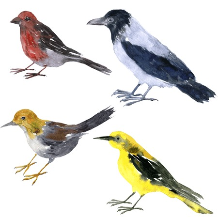 set of vector watercolor drawing birds, grey crow, yellow oriole,   sandpiper and crossbill painted by watercolor at white background, hand drawn vector design elements