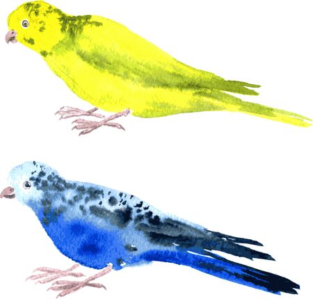the two parrots: two parrots painted by watercolor, yellow budgies and blue budgies, hand drawn vector illustration Illustration