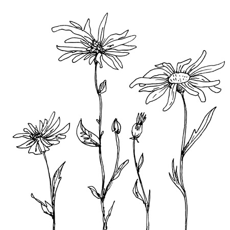chamomel: floral composition with ink drawing daisy flowers, doodle wild plants, monochrome black line drawing floral card, hand drawn vector illustration