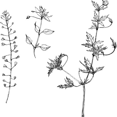Set of pencil drawing herbs and leaves, painted graphite pencil wild plants, botanical illustration in vintage style,  monochrome black line drawing floral set, hand drawn vector illustration