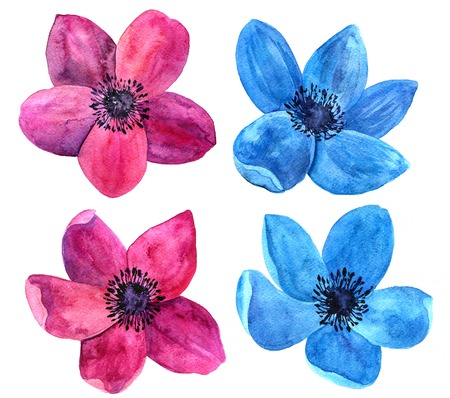 blue wind: watercolor drawing isolated flowers of red and blue wind flowers, hand drawn artistic painting illustration