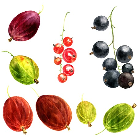red currant: watercolor drawing berries, artistic painting green,red and brown gooseberry and black and red currant, hand drawn illustration