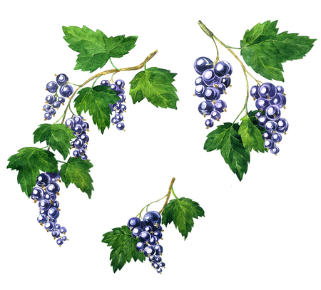 currants: branche of black currants with berries and green leaves drawing by watercolor, artistic painting element, hand drawn illustration