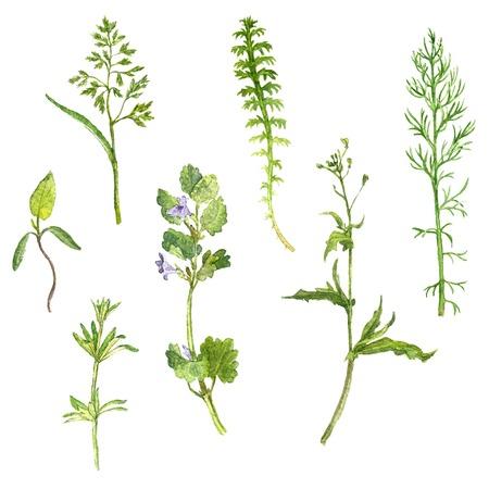 dibujo: Ilustración Conjunto de acuarela dibujo de flores silvestres, hierbas y hojas, plantas silvestres pintado, ejemplo botánico en el estilo vintage, color de dibujo conjunto floral, dibujado a mano
