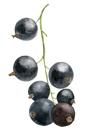 watercolor drawing berries, artistic painting black currant, hand drawn illustration