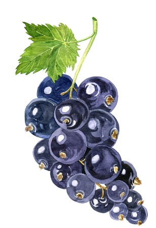 black currants: watercolor drawing blackcurrant, artistic painting berries, hand drawn illustration