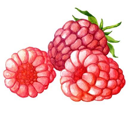 水彩描画ラズベリー、芸術的な絵画の果実、手描き下ろしイラスト 写真素材