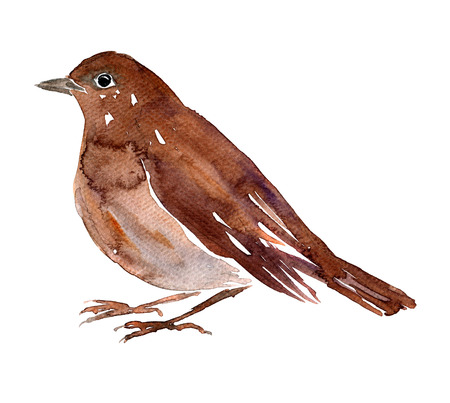 watercolor drawing bird,  artistic painting nightingale at white background, hand drawn illustration