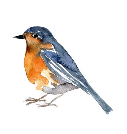 수채화 드로잉 조류, 흰색 배경에서 예술적 그림 로빈, 손으로 그린 그림