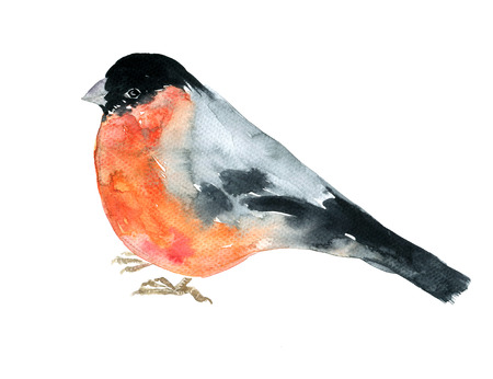 redbreast: watercolor drawing bird, artistic painting bullfinch at white background, hand drawn illustration