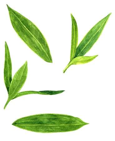 oleander: set of abstract green leaves drawing by watercolor, hand drawn elements, artistic painting illustration Stock Photo