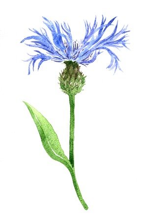 wild flower: cornflower drawing by watercolor at white background, watercolor blue wild flower,hand drawn artistic painting illustrartion Stock Photo