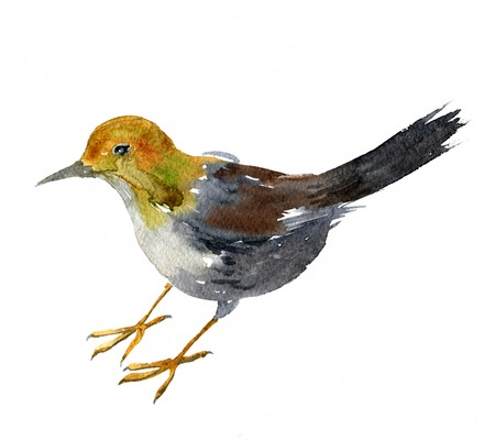 swamp: watercolor drawing bird, swamp, sandpiper painted by aquarelle at white background, hand drawn vector illustration Stock Photo