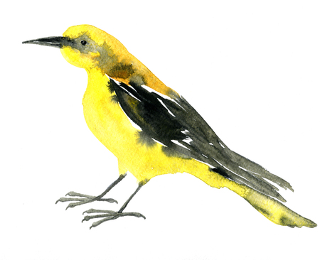 oriole: watercolor drawing bird, yellow oriole painted by aquarelle at white background, hand drawn  illustration