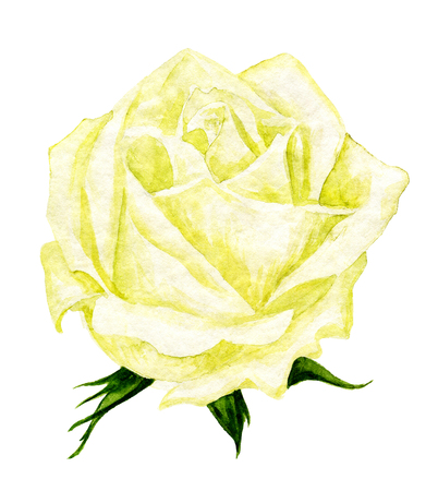 yellow rose: watercolor drawing yellow rose at white background, hand drawn illustration