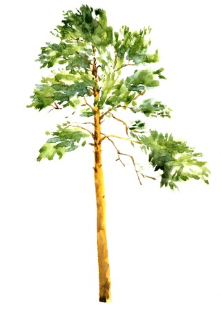larch: high pine tree at sunny day drawing by watercolor, aquarelle sketch of wild nature, painting forest, hand drawn artistic painting illustration