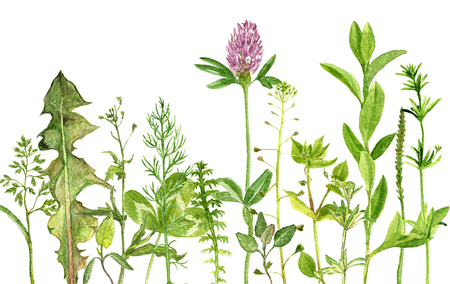 watercolor drawing wild flowers, herbs and leaves, painted  wild plants, botanical illustration in vintage style, color drawing floral background