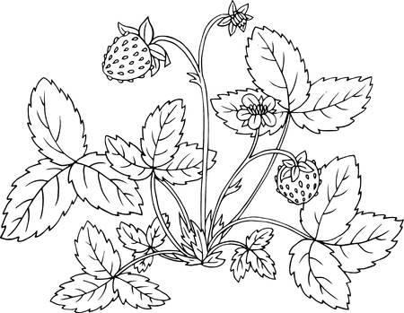 shrub: strawberry shrub with berries, flower and leaves, hand drawn vector illustration Illustration
