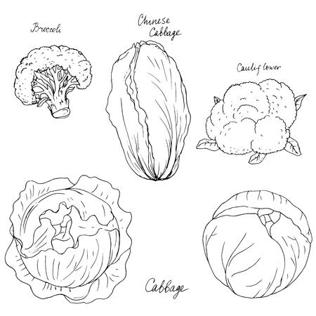 different kind of cabbage, broccoli, cauliflower and chinese cabbage , ink drawing, hand drawn vector illustration